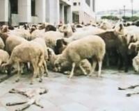 * Interviste ai familiari di Vincenzo Cannavacciuolo, pastore di Acerra morto per cause probabilmente riconducibili ad inquinamento da rifiuti tossici * Effetti nocivi sugli ovini probabilmente riconducibili ad inquinamento da rifiuti tossici *
