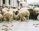 Le pecore di Acerra