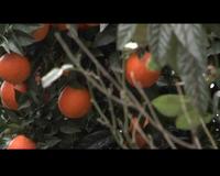 Condizioni di vita e di lavoro di immigrati a Rosarno per la raccolta delle arance. Motivazioni degli immigrati alla ribellione contro le aggressioni razziste subite. Sgombero delle forze dell'ordine il 9 gennaio 2010 di circa 500 braccianti immigrati da un ex complesso industriale vicino a Rosarno.